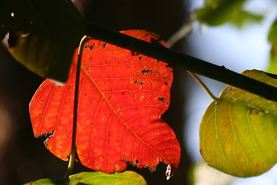 Sunlit Leaf by v-something