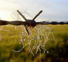 Dewy cattle hairs. by Julie Sleeman