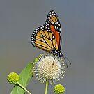 Monarch Butterfly by photosbyjoe