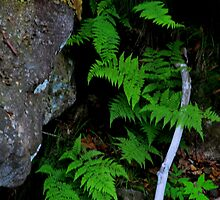 Mountain Ferns by DHParsons