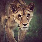 Lioness by Matt  Streatfeild