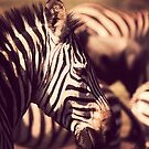 Zebra by Matt  Streatfeild