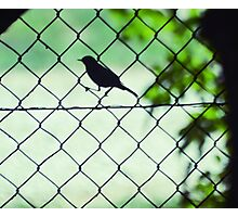 little bird on  fence Photographic Print