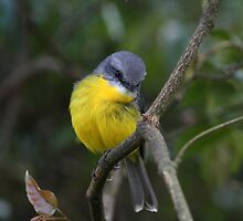 Eastern Yellow Robin by Matt  Harvey