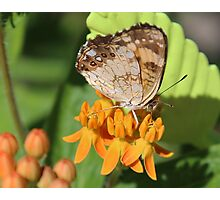 butterfly and milkweed2 Photographic Print