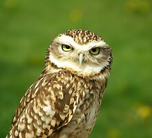 Little Owl by IngridSonja