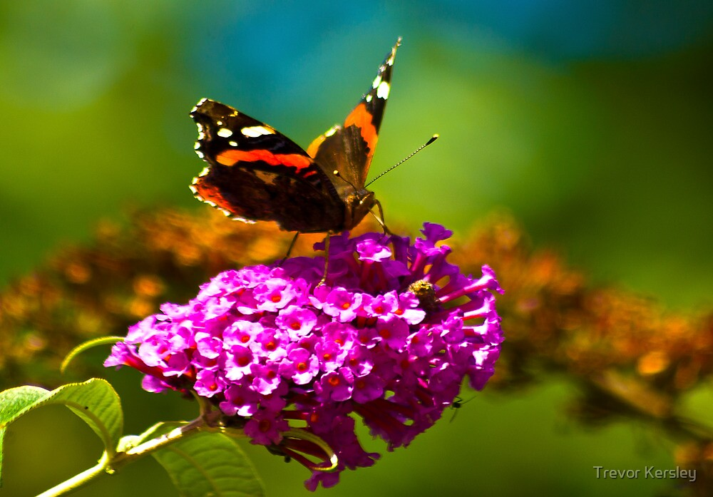 Butterfly & Lilac #3 by Trevor Kersley