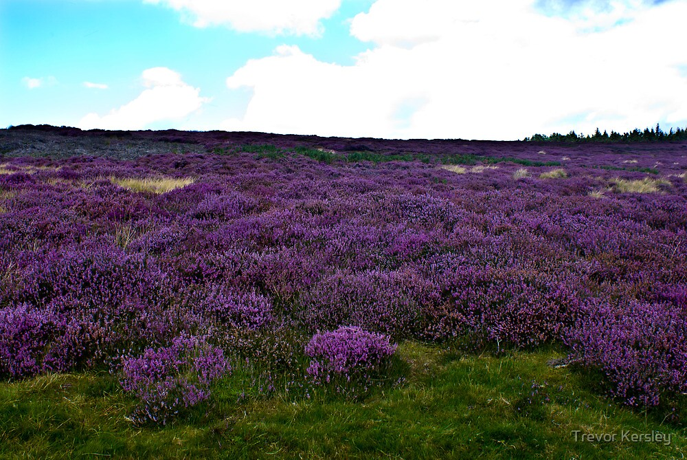 Heather on the Moors. by Trevor Kersley