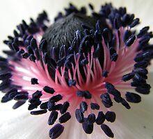 Anemone Beauty by IngridSonja