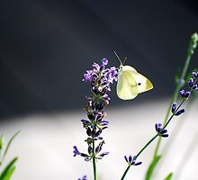 Glowing Butter - Butter-colored Butterfly on Lavender by jlkinsey
