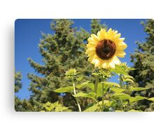 Sunflower from planet earth Canvas Print
