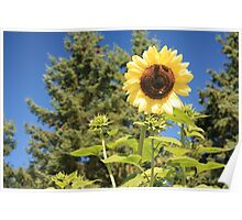 Sunflower from planet earth Poster