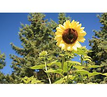 Sunflower from planet earth Photographic Print
