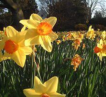 Field of Spring Bulbs by rualexa