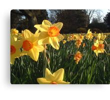 Field of Spring Bulbs Canvas Print