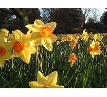 Field of Spring Bulbs Photographic Print
