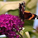 Butterfly by KChisnall