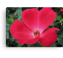 knockout red rose Canvas Print