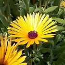 Yellow Livingston Daisy by Chanzz