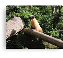 Golden Afternoon (Yellow Throated Marten) Canvas Print