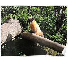Golden Afternoon (Yellow Throated Marten) Poster