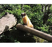 Golden Afternoon (Yellow Throated Marten) Photographic Print