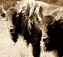 The buffalo boys by Alan Mattison
