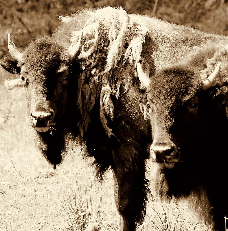 The buffalo boys by Alan Mattison