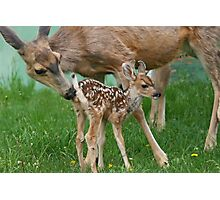 Mule Deer Mother & Fawn Photographic Print