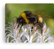 Bust Bee Canvas Print