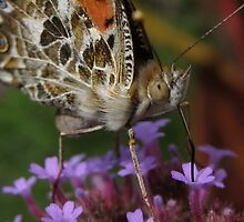Painted Lady AKA Cynthia Cardui by Sherry Lynn Crawford