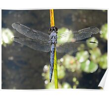 Male Slaty Skimmer relaxing at my feet. Poster