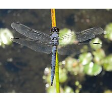 Male Slaty Skimmer relaxing at my feet. Photographic Print