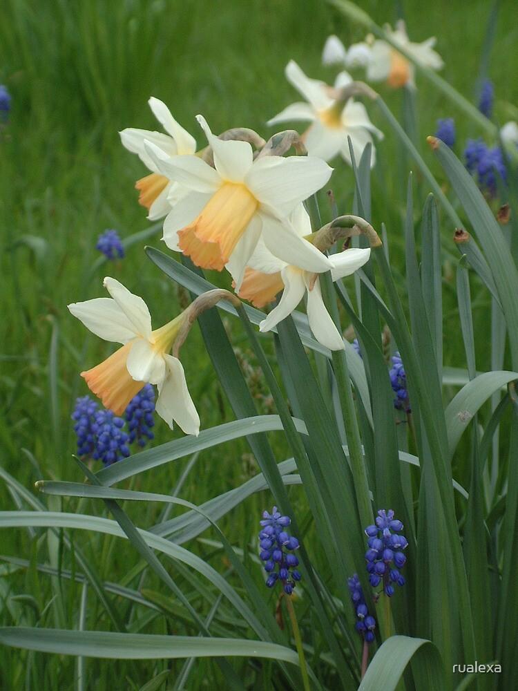 Daffodils & Grape Hyacinths by rualexa