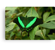 Emerald Swallowtail Canvas Print