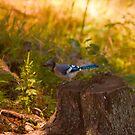 Blue Jay - Parc Omega by Josef Pittner