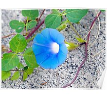 Morning Glory on Granite Poster