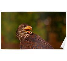 Bald Eagle Twist - Parc Omega Poster