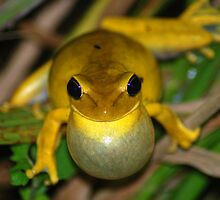 Chaco Treefrog (Hyla raniceps) - Bolivia by Jason Weigner