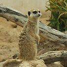 """It could be over there?"" Meerkat. by Fineli"