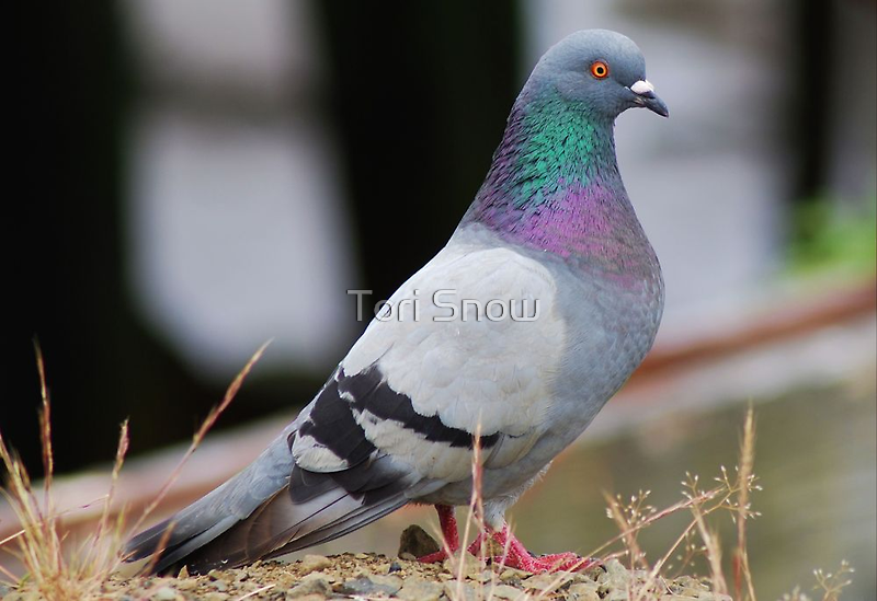 Colorful Pigeon  by Tori Snow