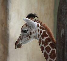 Newborn Giraffe by Alyce Taylor