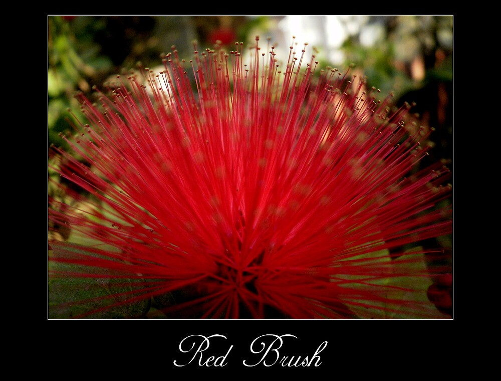 Red brush flower by Maurice Gomez