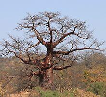 Redwine Baobab by Antionette