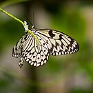 Tree Nymph Butterfly by M.S. Photography/Art