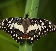 African Swallowtail Butterfly by M.S. Photography/Art