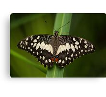 African Swallowtail Butterfly Canvas Print