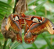 Atlas moth by Declan Carr