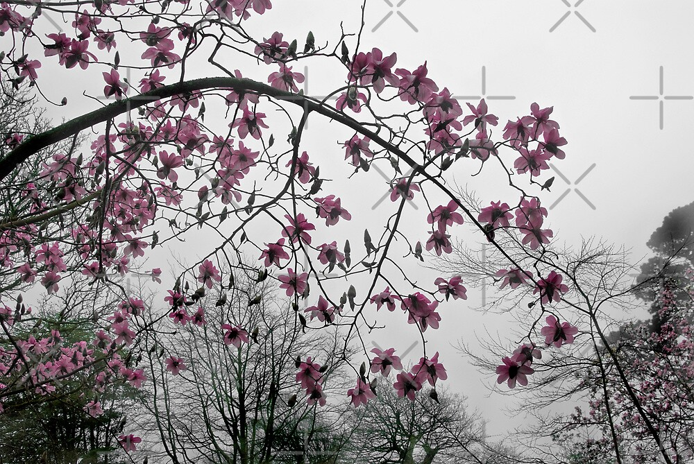 Magnolia in the Mist by Catherine Hamilton-Veal  ©