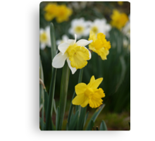Winter's Daffodils Canvas Print